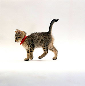 Domestic Cat {Felis catus} Tabby kitten wearing red flea collar.  -  Jane Burton