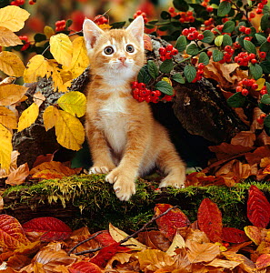 Domestic Cat {Felis catus} Ginger kitten among autumn leaves and Cotoneaster berries. Note - Kitten has extra toe (Polydactyl) - Jane Burton