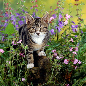Domestic Cat {Felis catus} Tabby kitten among Red campion with Ivy-leaved bellflower and Hedge woundwort  -  Jane Burton