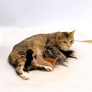 Domestic Cat, female 'Pansy' exhausted after birth, suckling her six newborn kittens - Jane Burton
