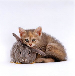 Domestic Cat, Silver tortoiseshell kitten with Silver dwarf Lop eared rabbit NOT AVAILABLE FOR BOOK USE  -  Jane Burton
