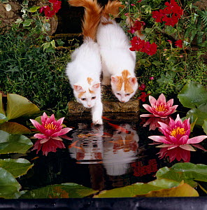 Domestic Cat, two Turkish van kittens watch and try to catch goldfish in garden pond - Jane Burton