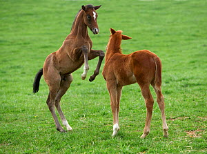 Two Thoroughbred colt foals {Equus caballus}  playing, Virgina  -  Carol Walker