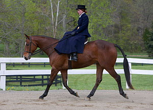 Woman riding Thoroughbred gelding {Equus caballus} sidesaddle, Virginia  -  Carol Walker