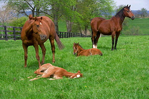 Thoroughbred and Arabian mares {Equus caballus} with foals, Virginia, USA.  -  Carol Walker
