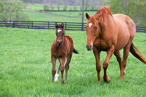 Thoroughbred colt {Equus caballus} with mother, Virginia, USA.  -  Carol Walker