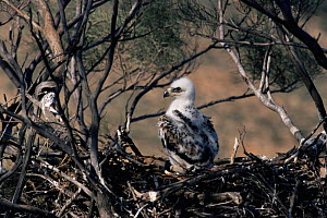 Wedge tailed eagle {Aquila audax} chick in nest, Sturt NP, New South Wales, Australia. - Owen Newman