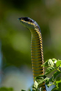 Boomslang snake {Dispholidus ypus} male head raised, Western Cape, South Africa - Tony Phelps