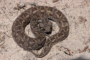 Southern adder {Bitis armata} Western Cape, South Africa  -  Tony Phelps