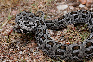 Southern adder {Bitis armata} with tongue out, Western Cape, South Africa  -  Tony Phelps