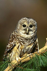 Barred owl {Strix varia} perching on branch, captive, USA. - Tom Vezo