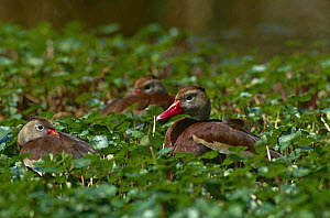 Black bellied whistling duck {Dendrocygna autumnalis} resting amongst water vegetation, Texas, USA.  -  Tom Vezo