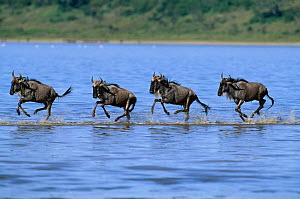 Wildebeest (Connochaetes taurinus) crossing river on migration, East Africa  -  Nick Garbutt