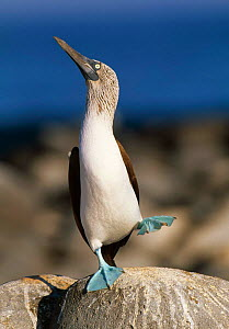 Blue footed booby 'dancing' display (Sula nebouxii) Galapagos  -  Nick Garbutt