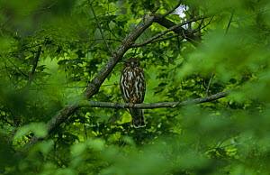 Brown hawk owl {Ninox scutulata} perching in tree, South Primorsky Region, far east Russia  -  Yuri Shibnev