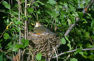 Grey backed thrush {Turdus hortulorum} adult on nest, South Primorsky Region, far east Russia  -  Yuri Shibnev