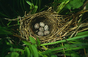 Six Black faced bunting {Emberiza spodocephala} eggs in nest, South Primorsky Region, far east Russia.  -  Yuri Shibnev