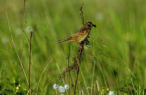 Grey headed / Chestnut eared bunting {Emberiza fucata} perching on grass with food in beak, South Primorsky Region, far east Russia  -  Yuri Shibnev