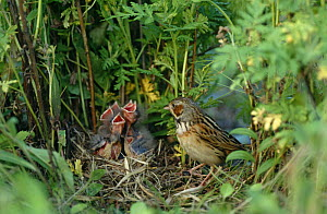 Grey headed / Chestnut eared bunting {Emberiza fucata} adult at nest with five chicks, South Primorsky Region, far east Russia.  -  Yuri Shibnev