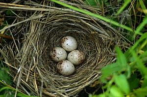 Four Japanese reed bunting eggs in nest {Emberiza yessoensis} South Primorsky Region, far east Russia - Yuri Shibnev