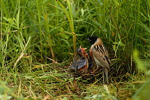Japanese reed bunting {Emberiza yessoensis} adult feeding chicks at nest, South Primorsky Region, far east Russia - Yuri Shibnev