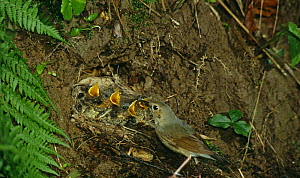 Siberian blue robin {Eritacus / Luscinia cyane} adult feeding chicks at nest, South Primorsky Region, far east Russia  -  Yuri Shibnev