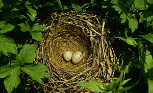 Grey headed / Chestnut eared bunting {Emberiza fucata} egg and European cuckoo {Cuculus canorus} egg in nest, South Primorsky Region, far east Russia - Yuri Shibnev