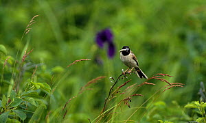 Japanese reed bunting {Emberiza yessoensis} adult perching on grass with food in beak, South Primorsky Region, far east Russia  -  Yuri Shibnev