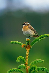 Portrait of female Whinchat (Saxicola rubetra) perched on pine, Sweden  -  Bjorn Forsberg