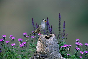 White crowned sparrow (Zonotrichia leucophrys) perched on log with wildflowers, Green Valley, Arizona, USA  -  Tom Vezo