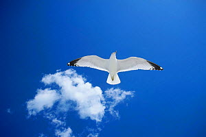 Looking up at Ring-billed gull (Larus delawarensis) in flight, Florida, USA - Mike Wilkes