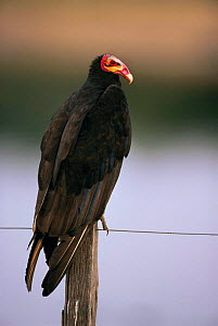 Portrait of Lesser yellow headed vulture (Cathartes burrovianus) perched on fence, Pantanal, Brazil, South America - Staffan Widstrand
