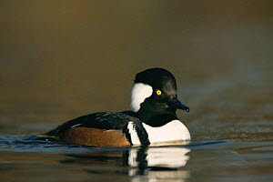 Hooded merganser duck (Lophodytes cucullatus) drake in water, Martin Mere Wildfowl & Wetlands Trust, Lancashire, UK - Geoff Scott-Simpson