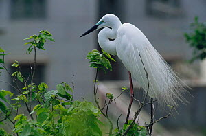 Intermediate egret (Egretta intermedia) perched in tree in near buildings, Maipo marshes, Hong Kong - Michael Pitts