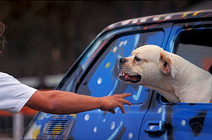 Man taunting / aggravating American bulldog in car to train it to be more aggressive. These dogs are specially trained to be aggressive so that they make ideal guard dogs.  -  Adriano Bacchella