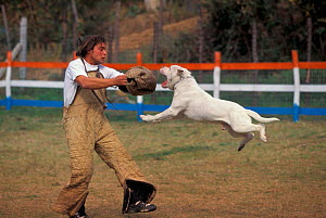 American bulldog leaping to attack man during aggression training. Man in protective clothing taunting / aggravating American bulldog to train it to be more aggressive. These dogs are specially traine...  -  Adriano Bacchella