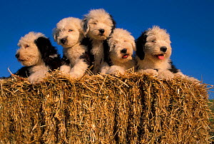 Old English Sheepdog / Bobtail puppies on haybale.  -  Adriano Bacchella