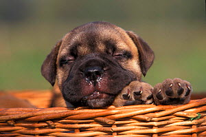Bullmastiff puppy in basket with eyes closed and a wet nose. , outdoors  -  Adriano Bacchella
