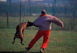 Boxer attacking a man during aggression training. Man in protective clothing taunting / aggravating Boxer to train it to be more aggressive so that they make ideal guard dogs. , outdoors  -  Adriano Bacchella