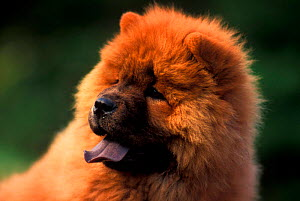 Chow chow dog portrait, rough coated  -  Adriano Bacchella