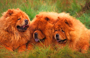 Three Chow chow dogs, rough coated  -  Adriano Bacchella