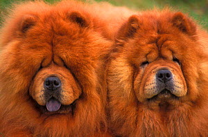 Two Chow chow dogs, rough coated  -  Adriano Bacchella