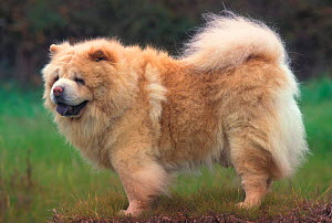 Chow chow dog, rough coated, old  -  Adriano Bacchella