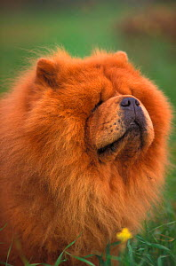 Chow chow dog, rough coated, portrait  -  Adriano Bacchella