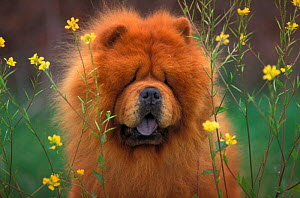 Chow chow dog, rough coated  -  Adriano Bacchella