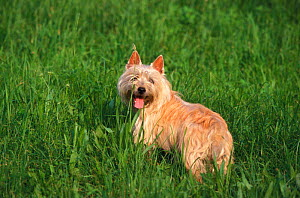 Cairn terrier in long grass  -  Adriano Bacchella