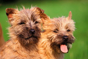 Two Cairn terrier puppies  -  Adriano Bacchella