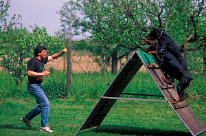 Two Dobermanns being trained over an assault course  -  Adriano Bacchella