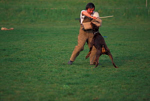 Dobermann attacking man in aggression training  -  Adriano Bacchella