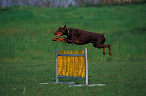 Dobermann jumping over hurdle in assault course training  -  Adriano Bacchella